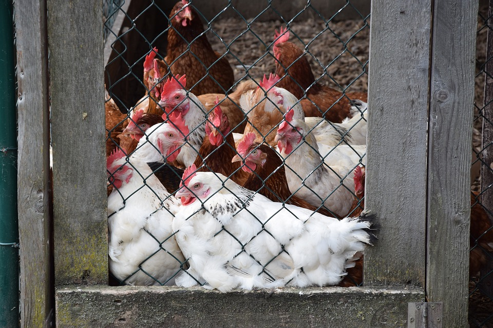Les grillages à poules